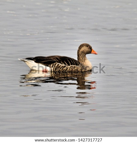 A picture of a Greylag Goose