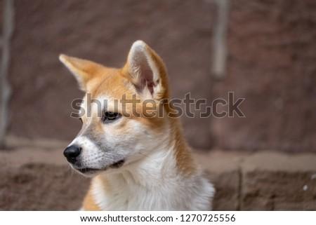 A picture of a Jindo/Corgi mix puppy sitting