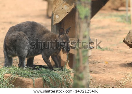 A picture of a kangaroo eating a grass in a zoo