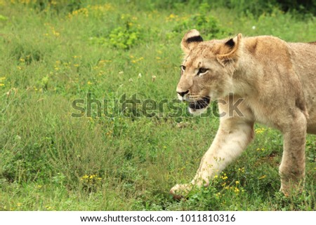 A picture of a lion cub walking in the Addo Elephant park near Port Elizabeth, South Africa.