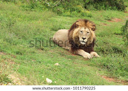 A picture of a lion lying on the ground in the Addo Elephant National Park near Port Elizabeth, South Africa.