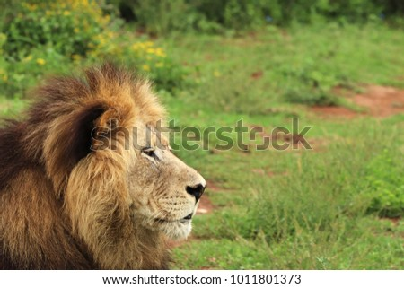 A picture  of a lion (Panthera leo) in the Addo Elephant National Park near Port Elizabeth, South Africa.