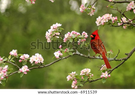 A picture of a male cardinal in a cherry blossom tree