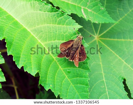 A picture of a Moth on a green leaf. Brown coloured Moth.