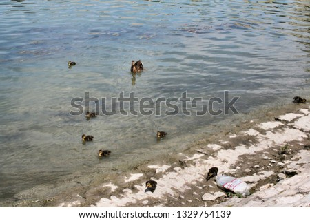 A picture of a mother duck and ducklings