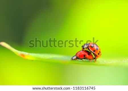 A picture of a pair of ladybugs mating on a blade of grass on a summer day