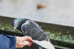 A picture of a pigeon perched on someone's hand and being hand fed.   Vancouver  BC  Canada