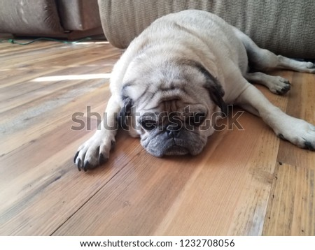 A picture of a pug laying down and resting