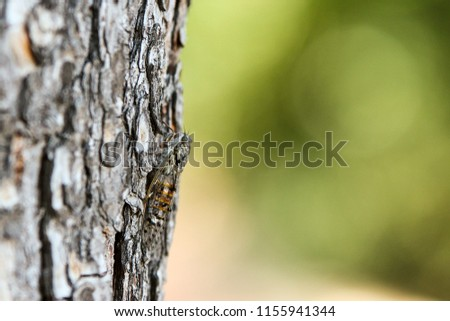 A picture of a single cicada siting on the tree´s trunk. Good example of natural camouflage.
