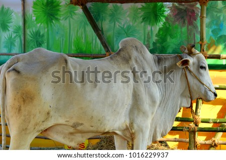 A picture of a standing white humped Bovine Cattle (Bos Taurus / Bos Indicus) which is in the family of Indian Indigenous Breeds