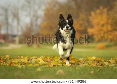 A picture of a young border collie puppy running on the autumn meadow between the fallen leaves. He enjoys the nature and is happy to be outside.