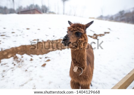 A picture of a young brown alpaca.