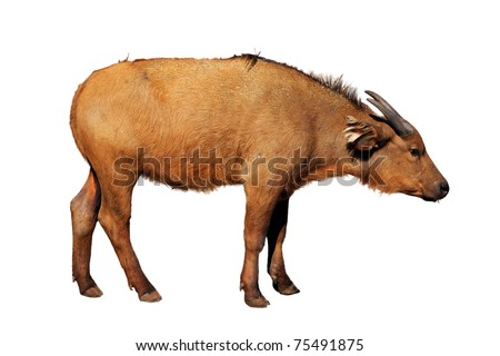 A picture of a young red buffalo standing over white background