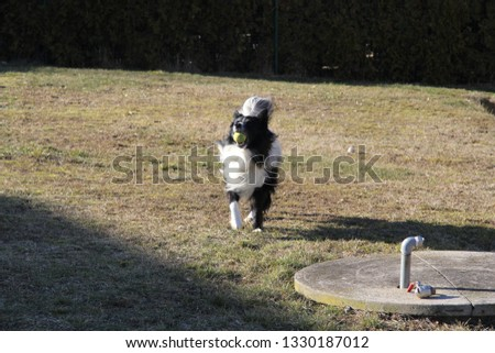 A Picture of Adult Border Collie Running in the Garden While Holding a Ball in His Mouth