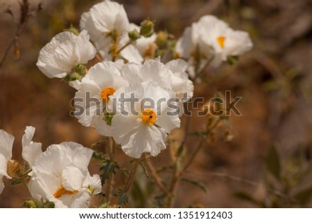 a picture of an exterior Pacific Southwest desert with Prickley poppies