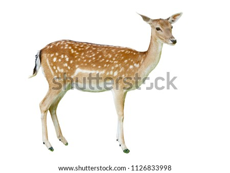 A picture of an isolated fawn deer as seen in a Dutch deer camp. Grass covers the hooves of the deer. White background. Sideview.