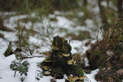A picture of an old, mossy treestump in the forrest