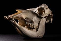 A picture of cow skull on a black background