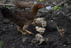 A Picture of cute chicks feeding with hen in an agricultural field