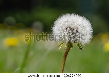 A picture of dandelion flower