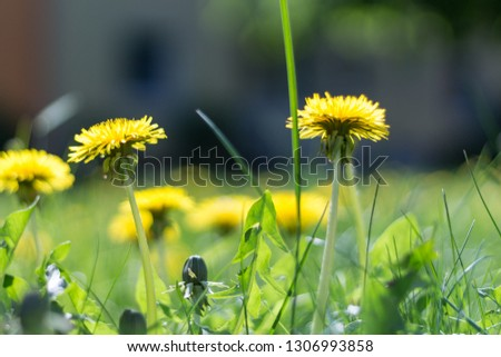 A picture of dandelion flowers