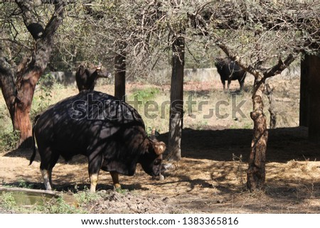 A picture of Gaur (Indian bison)