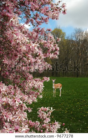 A picture of magnolia blossoms in the spring with a deer fawn in the background