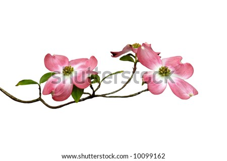A picture of magnolia blossoms on a white background