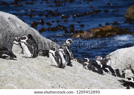 A picture of Penguin colony at Boulders, Western cape, south Africa