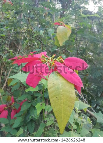 A picture of poinsettia flower