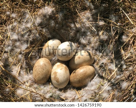 A picture of six goose eggs in a wild natural nest, photographed trough a fence with white feathers during sunset with warm colors
