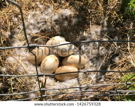 A picture of six goose eggs in a wild natural nest with white feathers during sunset with warm colors