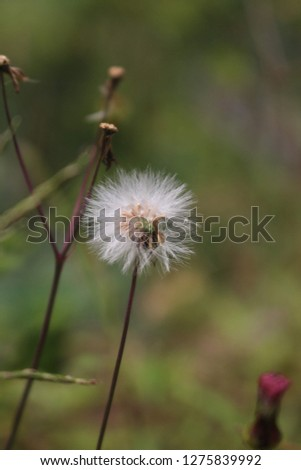 A picture of the beautiful Dandelion flower