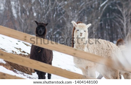 A picture of three alpaca on snowy ground.