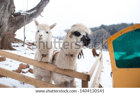 A picture of two alpaca, one of them is curiously looking into the tram whereas one of them is looking into the camera.