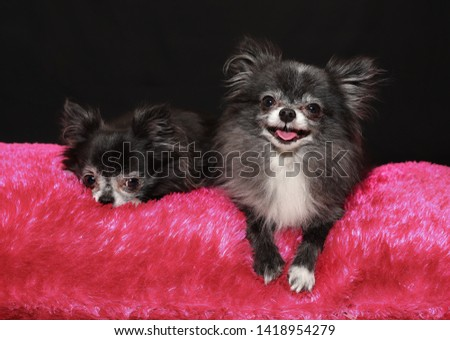 A picture of two  small chihuahua dogs, a mother and son, where one looks happy and the other looks sad. Taken on a pink sofa at the black background.