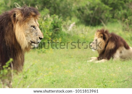 A picture of two stationary lions in the Addo Elephant national Park near Port Elizabeth, South Africa.