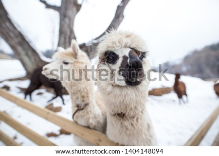 A picture of two white alpaca.