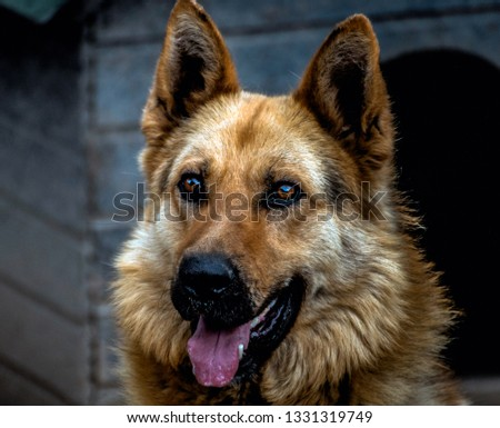 A picture of wolf dog