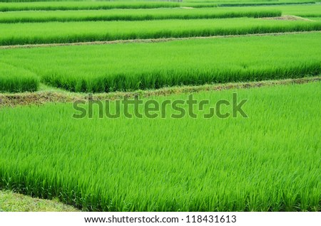 A piece of green rice paddy