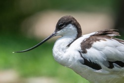 A pied avocet close up (Recurvirostra avosetta) a large black and white wader in the avocet and stilt family