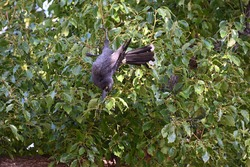 A pied currawong hanging upside down in a tree full of berries, its talons gripping a branch tightly