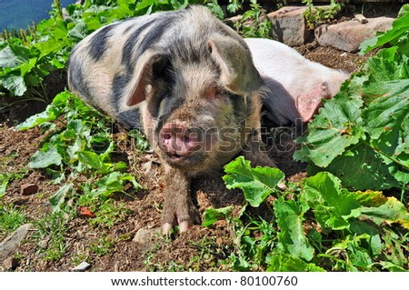 A pig in a summer landscape