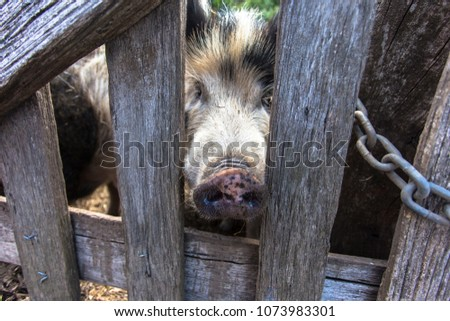A pig is any of the animals in the genus Sus, within the even-toed ungulate family Suidae. Pigs include the domestic pig and its ancestor, the common Eurasian wild boar.