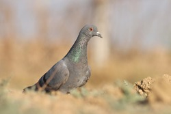 A pigeon bird on ground. The rock dove, rock pigeon, or common pigeon is a member of the bird family Columbidae.