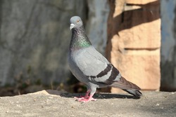 A pigeon bird sitting on a rock, india. Pigeon standing on terrace. Dove pigeon bird , pigeons bird photo, birds photography. full body pigeon dove bird  photo. single pigeon- dove birds
