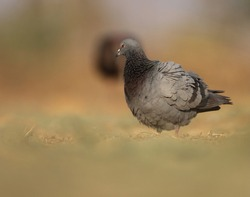 A pigeon bird standing on ground. The rock dove, rock pigeon, or common pigeon is a member of the bird family Columbidae.