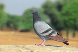 A pigeon bird stands in the open, rock Dove birds, thailand pigeon bird. thailand dove bird, closeup of pigeon bird portrait photo, beautiful pigeon on rock, piegon- dove birds close- up portrait