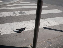 A pigeon crosses the street, pedestrian crossing, street scene, shadows under the sun, original and funny, Paris with no people