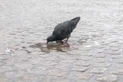 A pigeon drinking from pool of water on the paved road, Dam Square, Amsterdam, Netherlands